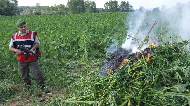 750.000 kök yasa dışı kenevir bitkisi ele geçirildi