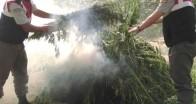163.000 kök yasa dışı kenevir bitkisi ele geçirildi