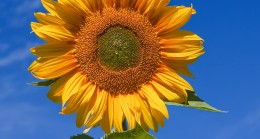 TRAKYA BİRLİK 2019 Yılı Ayçiçeği Ön Alım Fiyatlarını açıkladı