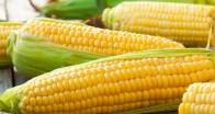 Çiftçiler mısır alım–ve ölçüm sorununa çare bulunmasını istiyor